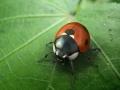 ladybird01